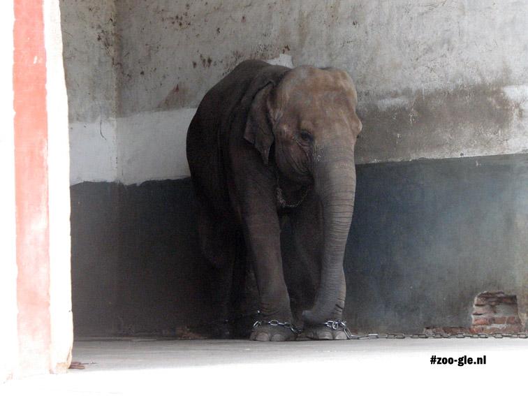 2008 Vier geketende olifantenvoeten