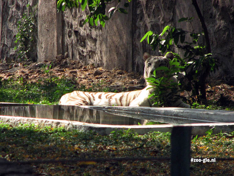 2008 A white tiger