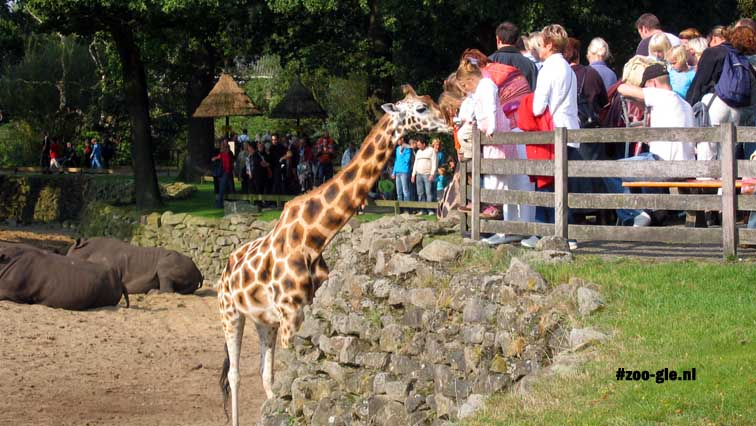 2005 Hungry giraffe in Africa