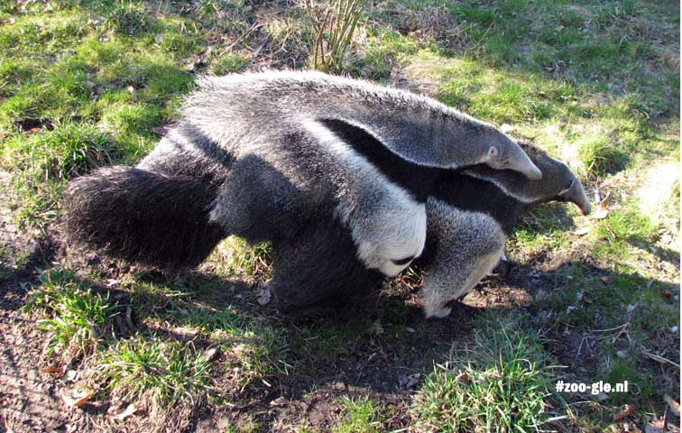 2009 Department South America, giant anteater