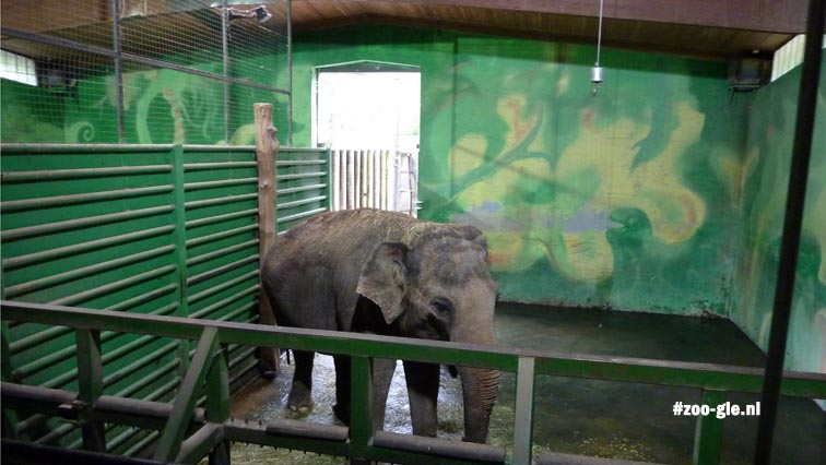 2010 Elephant kept in a stable with a green painted wall