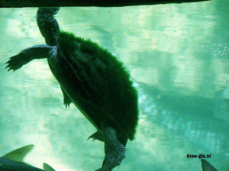 2008 Begroeide schildpad