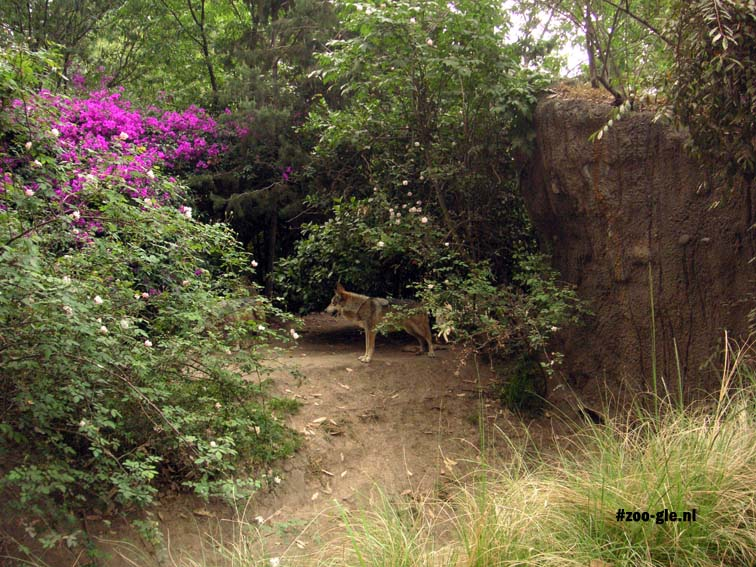 2005 A wolf in a densely overgrown enclosure