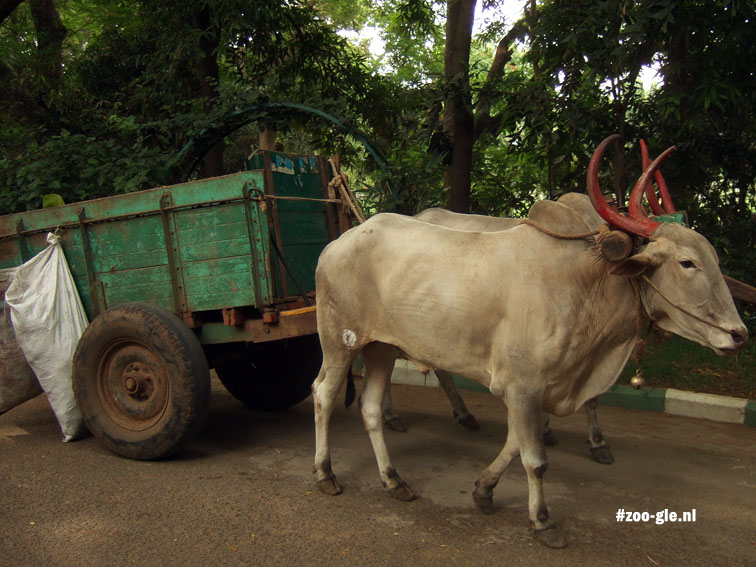 2008 Working oxen in Indian zoo
