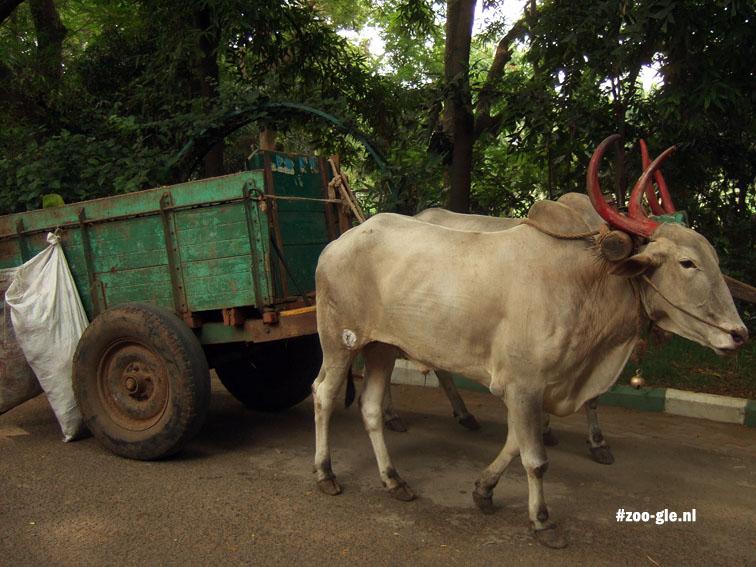 2008 Werkossen in deze Indiase dierentuin