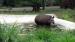 2008 Bathing tapir
