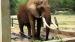 2008 Geketende Afrikaanse olifant