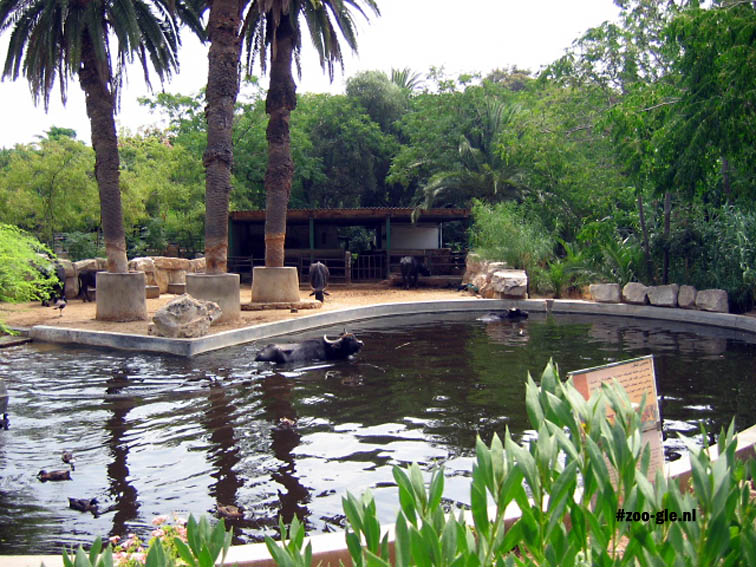 2005 Waterbuffels