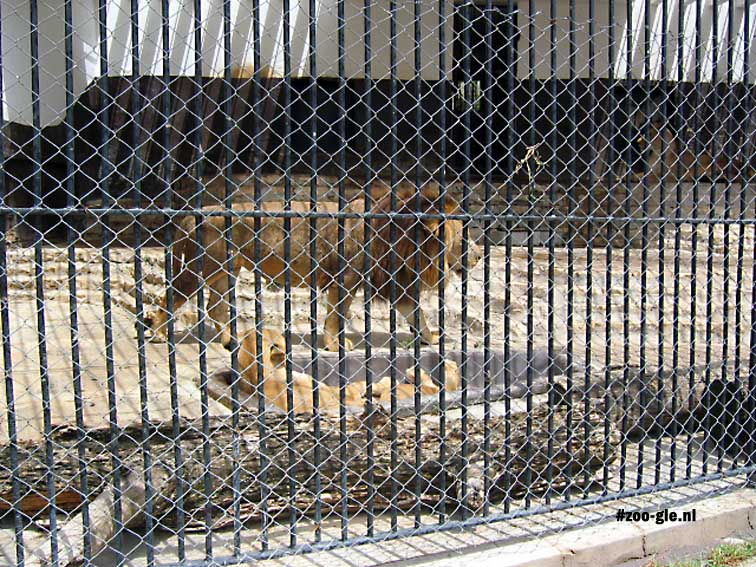 2005 Lions behind bars and mesh