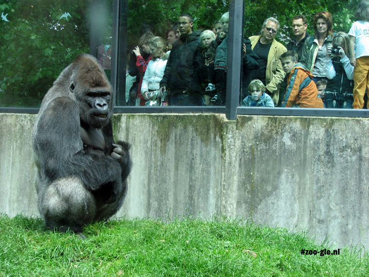 2007 Gorilla Ivo became a star fulfilling the title role in a documentary