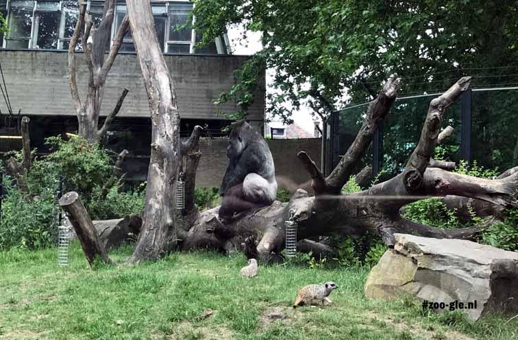 2017 Gorilla en stokstaartjes, gemengde huisvesting