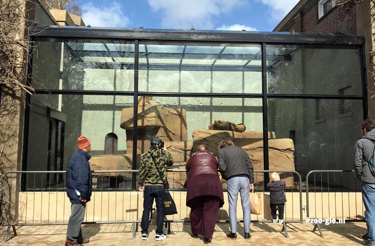 April 2018 Glas in plaats van tralies naast KerbertterrasApril 2018 Leeuwenverblijf, tralies vervangen door glas