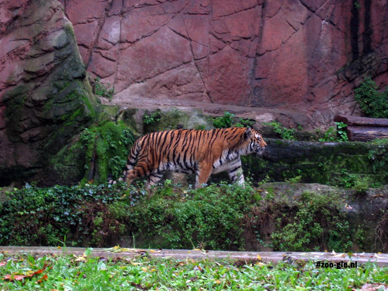 2005 Tiger in grotto enclosure