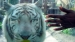 2005 She could almost touch the white tiger