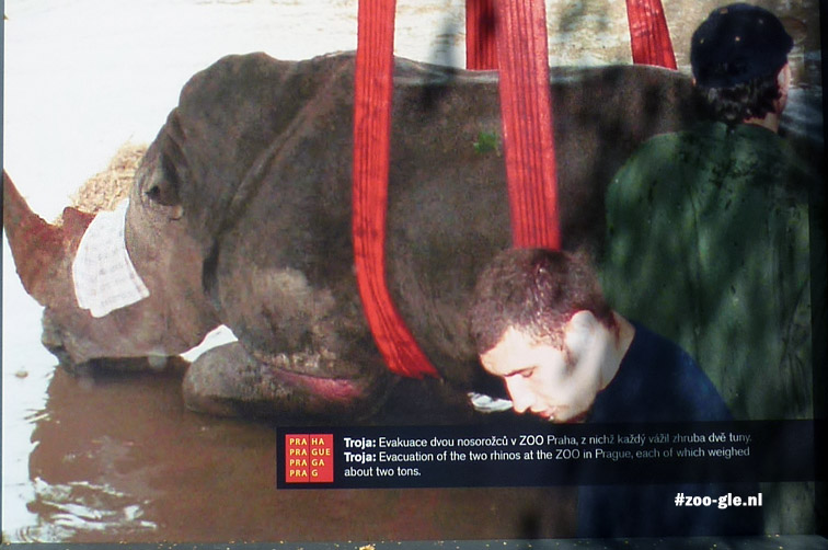 Evacuation of a rhinoceros, flood 2002