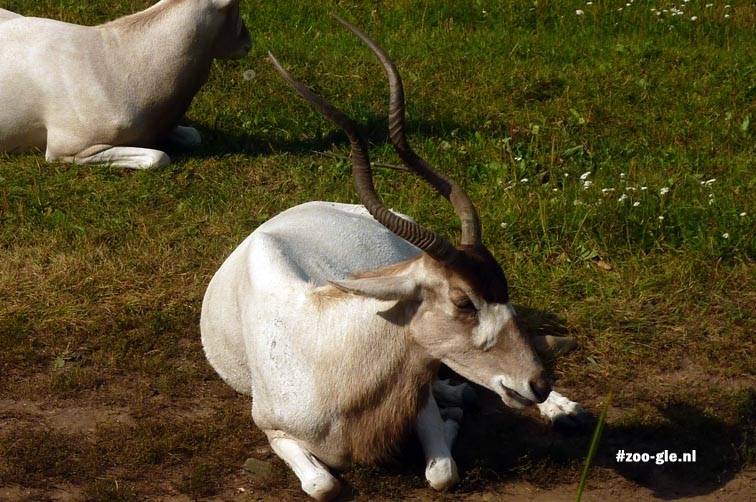 2012 Addax seemingly wearing an African face mask