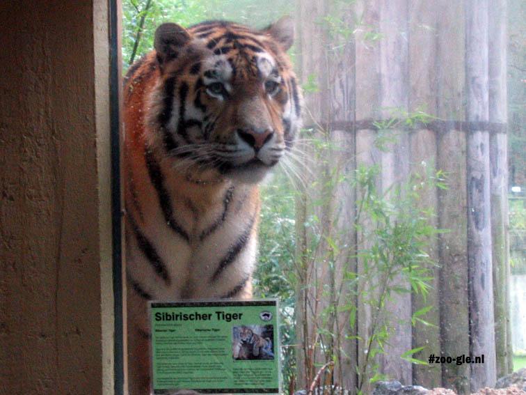 2007 Amur tiger, just a piece of glass away!