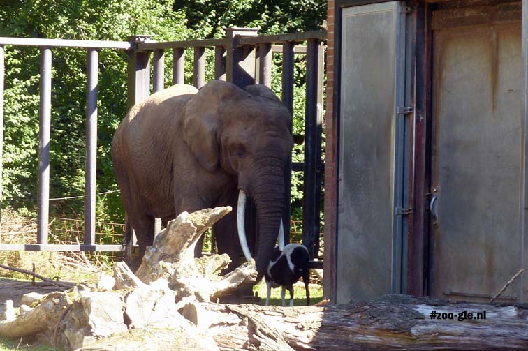 2013 51-jarige olifant Sara met kameroenbok Gisbert