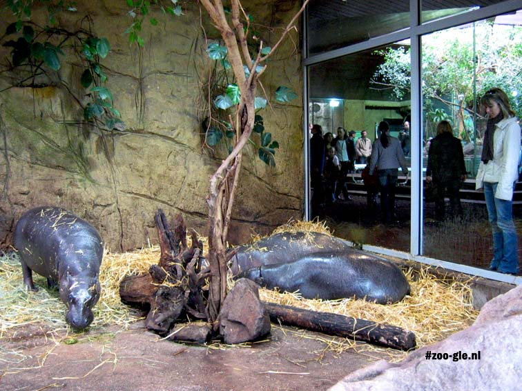 2006 Pygmy hippos in the window