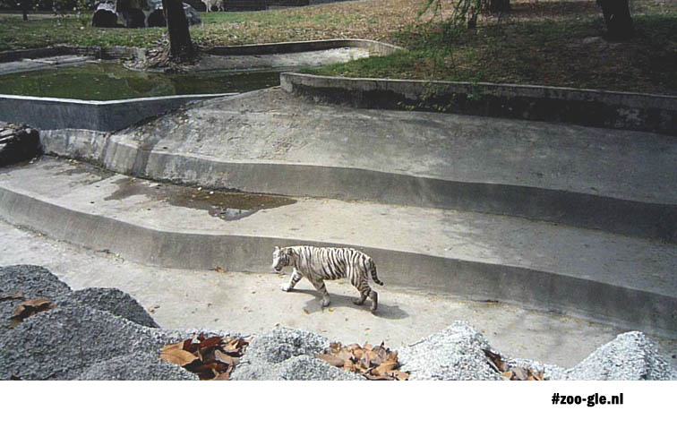 2009 White tiger in Delhi Zoo