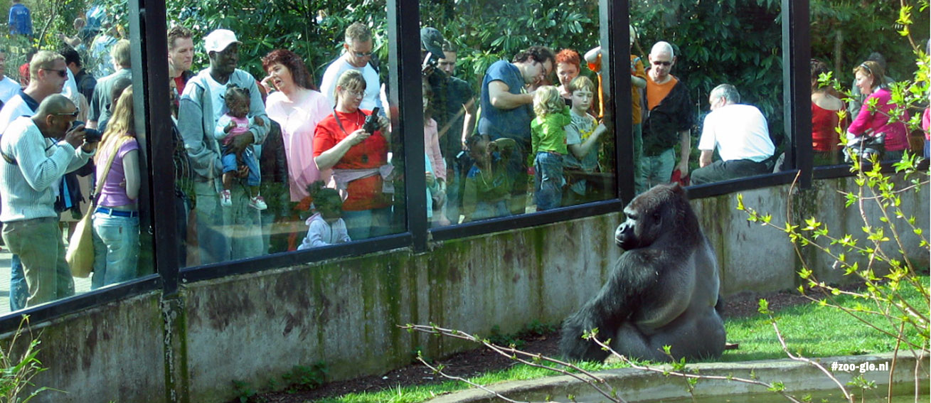 humans and animals: gorilla ivo amsterdam zoo