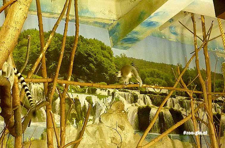 2014 Natuur als achtergrond in interieur ringstaartmakis