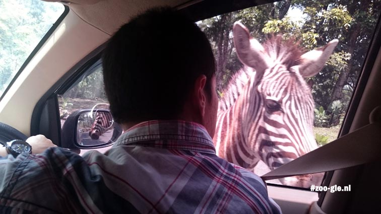 2017 A zebra in the side view mirror