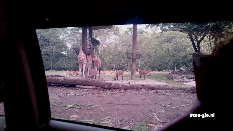 2017 Giraffen