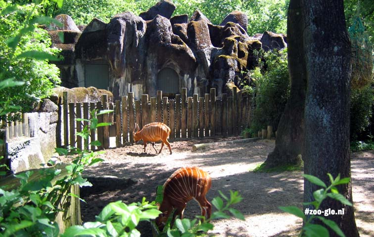 2006 Bongos against Hagenbeck background