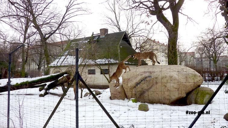 2010 Leopard enclosure