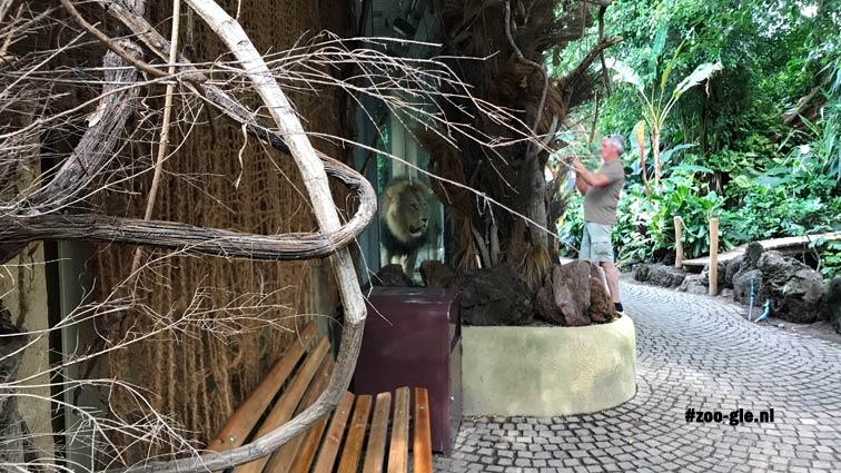 2018 Spannende ontmoeting met leeuw in jungletent 1996. Achter pantserglas wel.